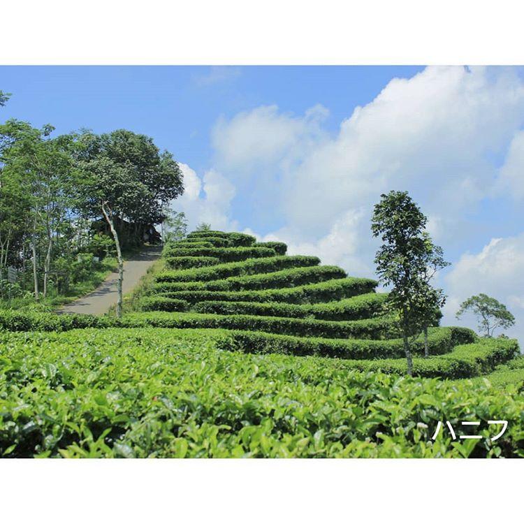 Nikmati Wisata Alam Kebun Teh Nglinggo dan Grojogan Watu Jonggol